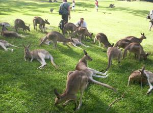 Kangaroos-and-tourists