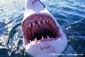 Great-white-shark-jaws
