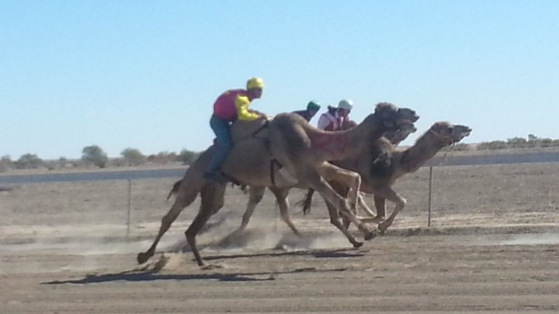 camel-raceing