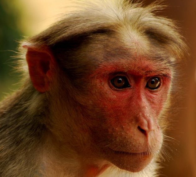 Portrait_of_Bonnet_Macaque_(Macaca_radiata)_edited