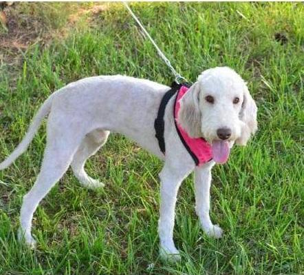 Bedlington_Terrier-Puppy